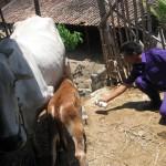 Dinas Pertanian suntik puluhan sapi