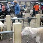 Jelang kurban, harga sapi dan kambing jawa meroket , domba masih lesu