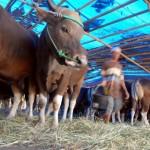 Jelang Idul Adha, Disnakkan Sragen perketat pengawasan hewan