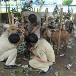 Petugas temukan hewan kurban belekan