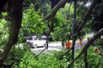 Tak kuat menahan dahan dan cabang, Angsana tumbang