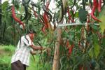 HARGA SAYURAN : Harga Cabai Merah di Tingkat Petani Hanya Rp2.000 Per Kg