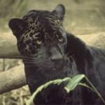 Restorasi Hutan, Macan Akan Dilepas di Merapi