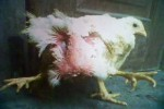 WOW! Ada Ayam Berkaki Empat di Klaten