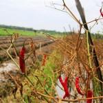 DAMPAK CUACA: Banyak Tanaman Cabai di Kulonprogo Membusuk