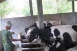 SAPI PERAH: Disnakperla Lakukan Pengembangan di Slogohimo