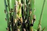 PERTANIAN SUKOHARJO : Puluhan Hektare Sawah Gagal Panen Diserang Tikus dan Wereng