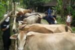 SAPI MATI MENDADAK: Tim Disnakkan Suntik 89 Ternak