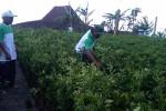 PENGHIJAUAN MERAPI: 25.000 Bibit Pohon Ditanam di Lereng Merapi