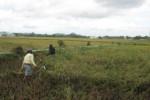 PERTANIAN WONOGIRI : 3 Hektare Padi Siap Panen Roboh