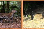 MACAN GUNUNG LAWU: Terdesak Manusia, Status Macan Tutul Jawa Kritis