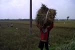 SUNDEP Serang 15 Hektare Sawah di Sobokerto