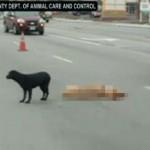 Anjing Ini Menyetop Lalu Lintas Demi Melindungi Kawannya