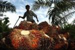 Produksi Turun, Permintaan Minyak Sawit Tetap Tumbuh