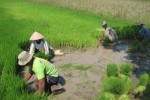 MUSIM TANAM II, Lima Desa di Andong Tak Kebagian Air Bade
