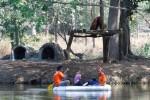 ORANGUTAN TSTJ MATI : Tiga Orangutan TSTJ segera Dievakuasi