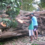 Bangun Jalan, Warga Glagah Tebang Pohon Berusia Ratusan Tahun