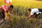 SWASEMBADA PANGAN: Bupati Puji Program Tanam Serentak di Tawangsari
