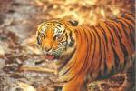 Petugas Kebersihan Taman Safari Cisarua Tewas Diterkam Harimau Sumatera