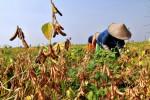 PERTANIAN JATENG : Petani Kedelai Kudus Dilatih Ahli UKSW Salatiga