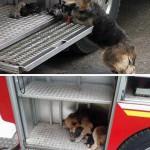 Mengharukan, Anjing Selamatkan Anaknya dari Kebakaran
