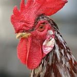 Kemarau Ancam Peternakan Ayam di Sentolo