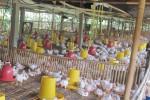 PETERNAKAN SRAGEN : Puluhan Perusahaan Ternak Ayam Dinilai Tak Kooperatif