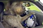 Wow! Anjing Kini Bisa Latihan Nyetir Mobil