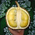 Kemarau, Panen Durian Kalibawang Mundur