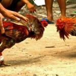 PERJUDIAN JATENG : Gara-gara Sabung Ayam, 7 Warga Banyumas Diancam 10 Tahun Penjara