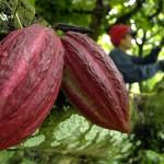 Kakao (Ilustrasi/dok)
