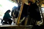 DAMPAK HUJAN ABU : Produksi Susu Sapi Turun Hingga 15 Persen