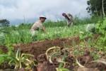 Petani Boyolali Antisipasi Pencurian dan Serangan Kera