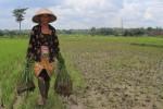 PERTANIAN BANTUL : Bantul Baru Mampu Penuhi 25% Kebutuhan Benih Padi