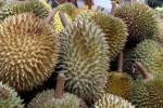 Keren, Guru SD di Sidoharjo Wonogiri Ini Kembangkan Bibit Durian