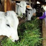 BANTUAN SAPI : BPBD Beri Bantuan Ternak Sapi Rp8,1 Miliar bagi Korban Merapi