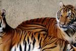 MACAN MERAPI : Harimau Jawa Asuh 2 Anak di Ladang Warga
