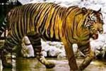 MACAN MERAPI : Sempat Diduga Punah, Harimau Jawa Muncul di Kemalang