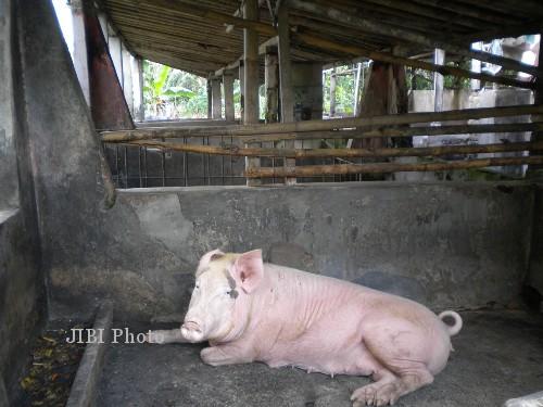 80 Gambar Babi Ternak HD