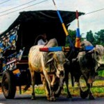 Viral Video Pengendara Gerobak Sapi Masih Eksis di Klaten, Bikin Netizen Kaget