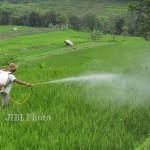 Petani Pandak Khawatirkan Hama Wereng