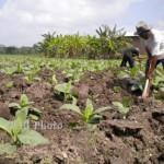 Curah Hujan Tinggi, Petani di Sleman Enggan Tanami Semua Lahannya Dengan Tembakau