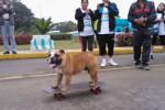 KISAH UNIK : Wow, Kini Ada Kursus Skateboard Khusus Bulldog!