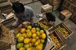 Pedagang menyortir buah jeruk dari Bali di Pasar Induk Buah dan Sayuran Giwangan, Umbulharjo, Jogja, Kamis (18/7). Banyaknya pasokan buah jeruk dari Bali serta Banyuwangi, Menyebabkan harga buah rata-rata turun Rp. 1000 rupiah perkilogramnya. Harga jeruk dengan kualitas paling bagus sekitar Rp. 8000 perkilogramnya.