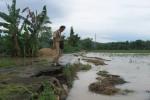 Hujan Deras, 380 Hektare Sawah di Sukoharjo Terendam Banjir