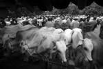 PETERNAKAN JOGJA : Populasi Sapi Digelontor Rp1,1 Trilyun