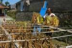 TEMBAKAU TEMANGGUNG : Gudang Garam dan Djarum Bakal Batasi Pembelian Tembakau dari Petani