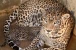 PENYELAMATAN HEWAN LANGKA : BKSDA Jateng Selamatkan Macan Tutul di Cilacap
