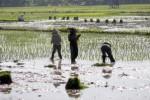 PERTANIAN KLATEN : Petani Karangdowo Keluhkan Pasokan Air dari Dam Colo Menyusut