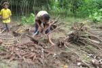 PRODUKSI PERTANIAN : Petani Harus Tingkatkan Hasil Singkong